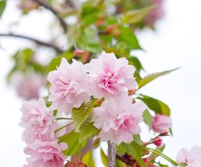 Flowering Sakura