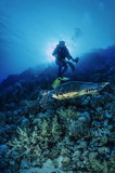SUDAN, Red Sea, W.U. photo, Sea turtle (Caretta caretta)