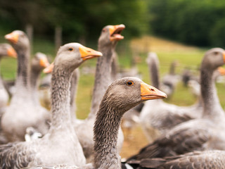 Geese of the Perigord