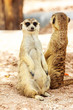 portrait of meercat