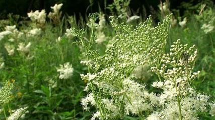 Meadowsweet ( Meadow flowers ).