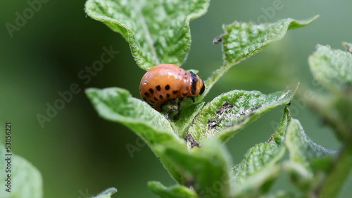 Colorado potato beetle larva