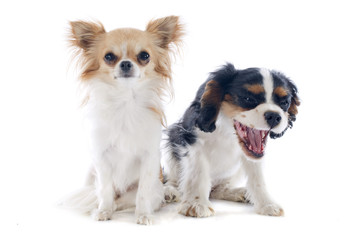 chihuahua and cavalier king charles