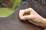 Pferdeakupunktur