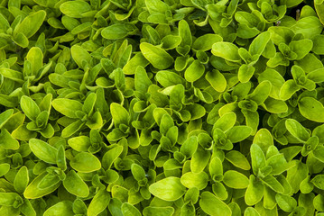 origan, variete Thumble, origanum vulgare