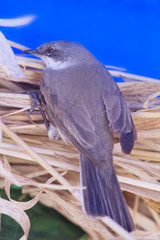 Eurasian whitethroat