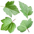 Currant leaves.