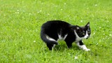 Small black and white kitten is walking in the garden.