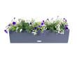 canvas print picture - Polyrattan Blumenkasten mit Petunien und Jasmin