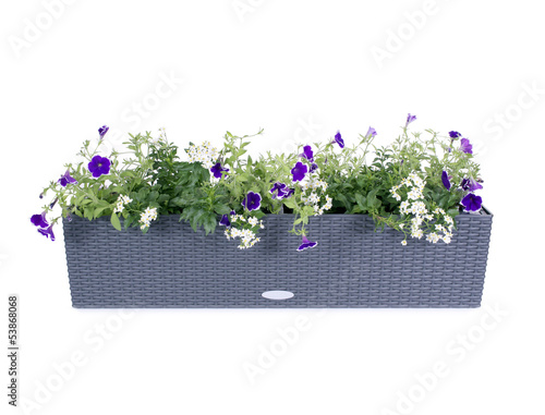 canvas print picture Polyrattan Blumenkasten mit Petunien und Jasmin