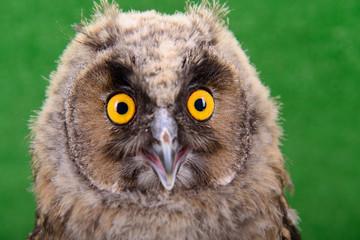 young bird owl
