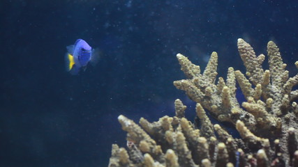 Wedgetailed Blue Tang swimming around coral in aquarium