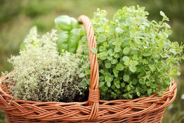 Basket with thyme, basil and oregano in the garden.