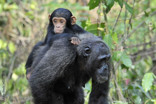 Mother Chimpansee walking by with carrying young.