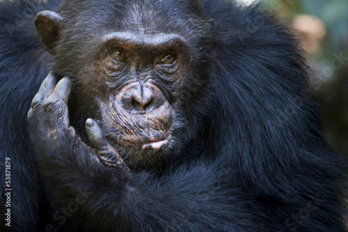 Portait of a Chimpansee