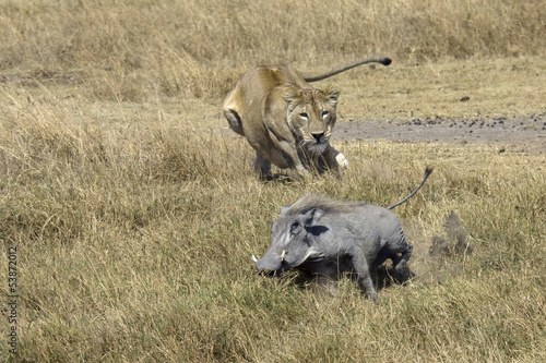Lion hunting on a Common Warthog.
