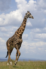 Giraffe walking in savanna
