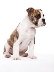 englische Bulldogge seitlich sitzend