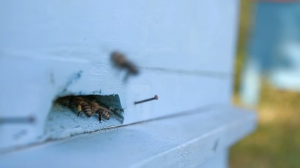 Busy Summer Bees Entering Hive HD
