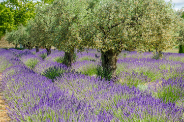 lavender in a row and olive trees