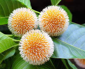 Neolamarckia cadamba or Kodom flower