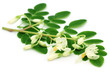 Edible moringa leaves with flower over white background