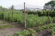 A cage with peas in the organic vegetable garden