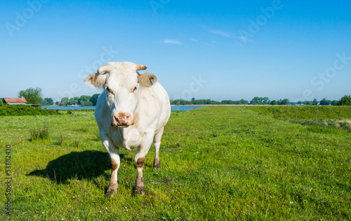 White cow with horns in a sunny meadow
