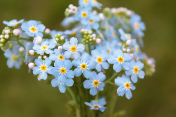 Bouquet of forget-me-nots flowers