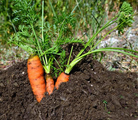 carrots soil fresh leaves