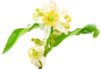 Foto: fleur d'agrume, citrus hystrix
