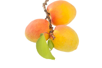 twig with apricots