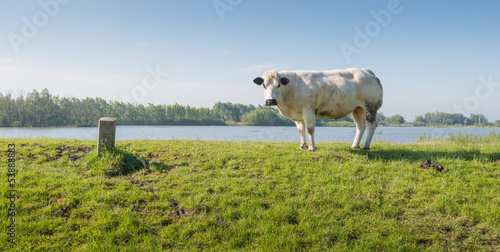 Young white cow on a Dutch dike next to th river