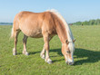 Brown horse with blonde manes and tail eating grass