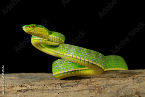 green viper crawling on wood