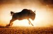 Blue wildebeest running in dust