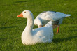 two domestic geese on fresh grass