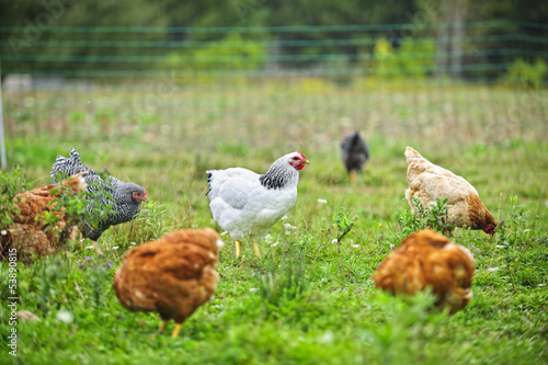 Tuinposter Kip Free range chickens on farm