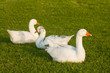 three geese sleeping on grass