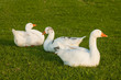 domestic geese resting on grass
