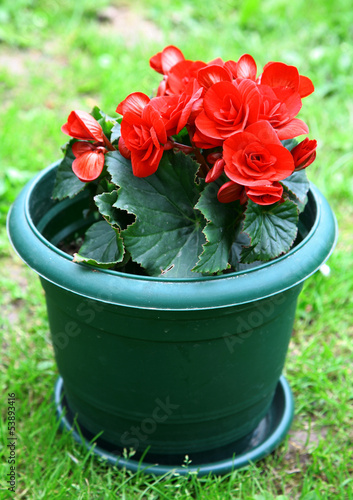 Red blossoming begonia