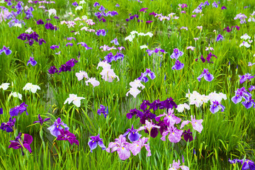Flower garden of Japanese iris