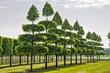 Linden in einer Baumschule