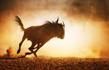 Blue wildebeest running in dust