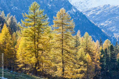 Autumn Larch tree forest in the Alps