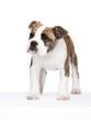 stehende englische Bulldogge-Welpen