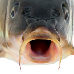 carp fish close up
