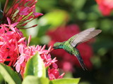 Emerald Hummingbird in Roatan