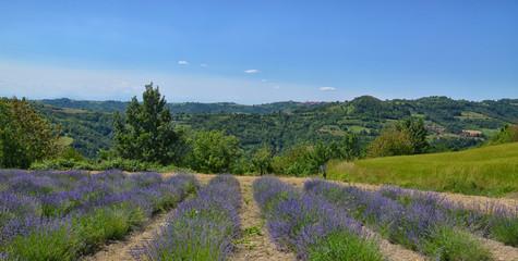 Lavender Field-3