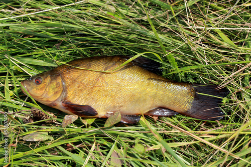 big tench lying in the grass